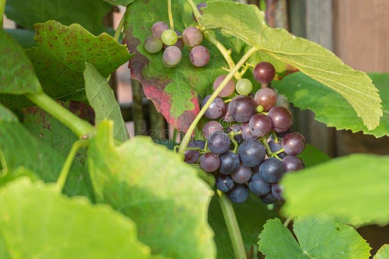 Uvas roxas deliciosas, quase maduro e pronto para obter comido imagem de stock royalty free