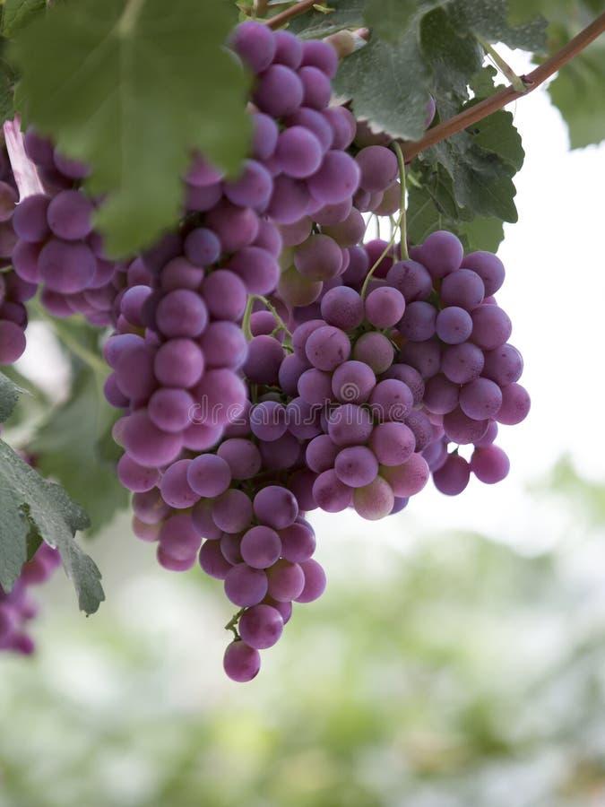 Uvas roxas, pendurando na árvore da uva