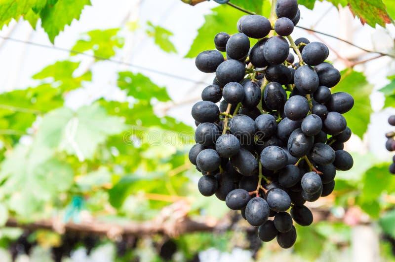 Uvas roxas que penduram nos ramos fotografia de stock