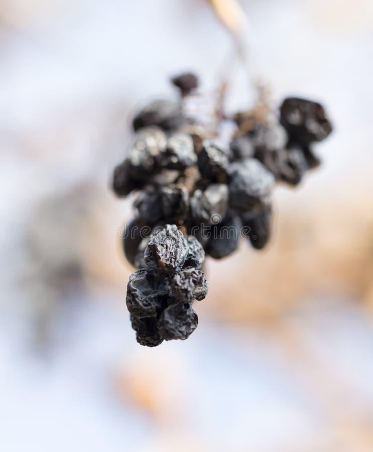 Uvas secas viejas en naturaleza fotografía de archivo
