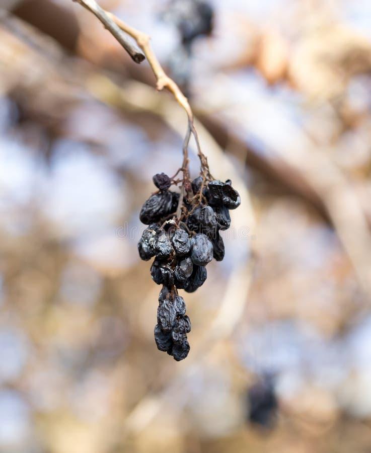 Uvas secas viejas en naturaleza fotos de archivo