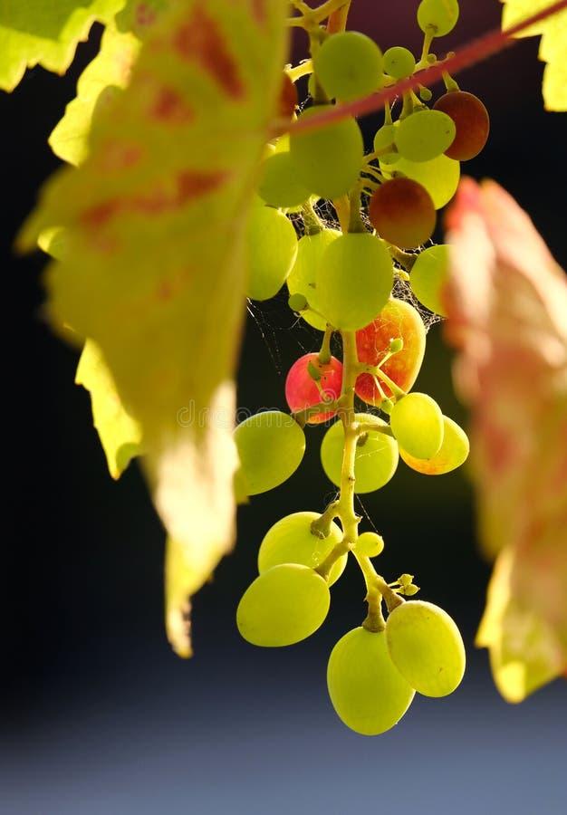 Uvas sobre a vinha no outono ensolarado foto de stock