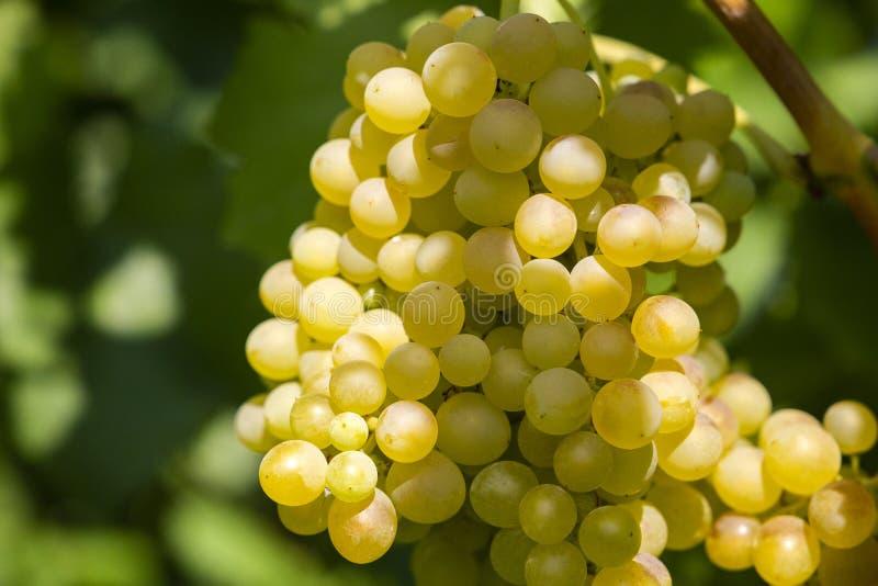 Uvas suculentas frescas foto de stock
