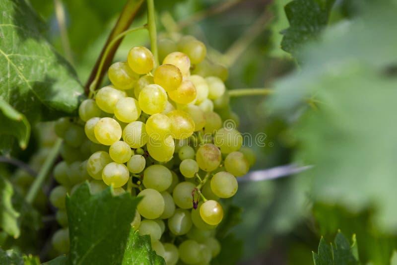 Uvas suculentas frescas imagens de stock