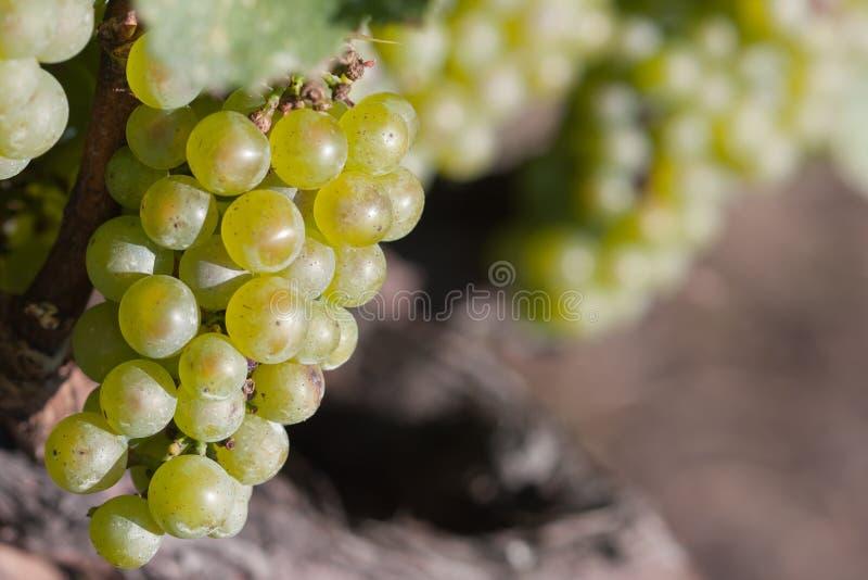 Download Uvas verdes foto de stock. Imagem de suspensão, uvas - 26524138