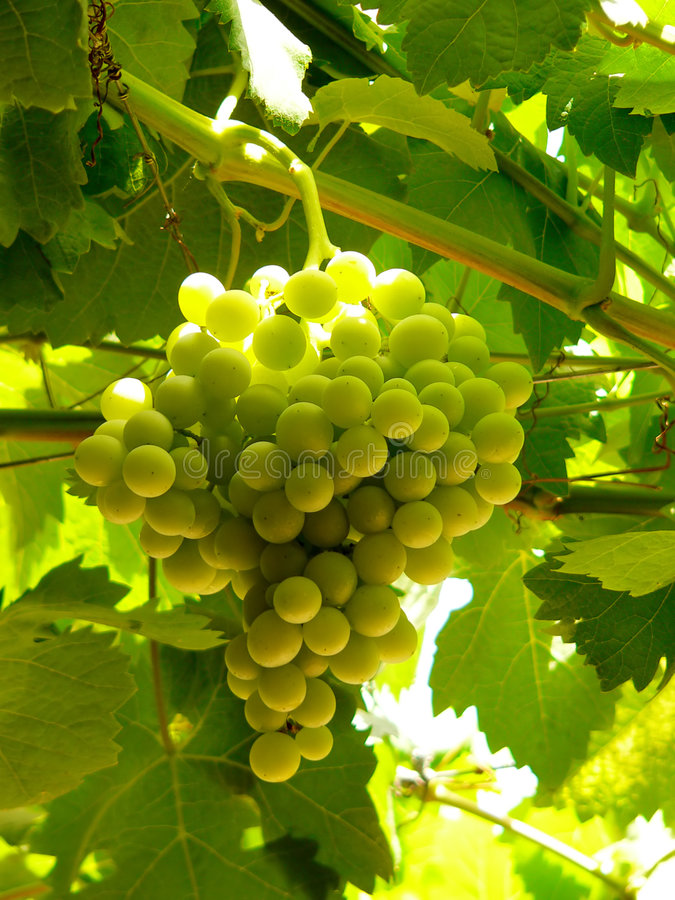 Uvas verdes fotografia de stock