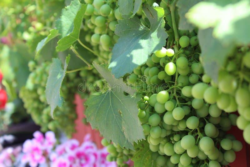 Uvas verdes do primeiro plano com folhas fotos de stock royalty free