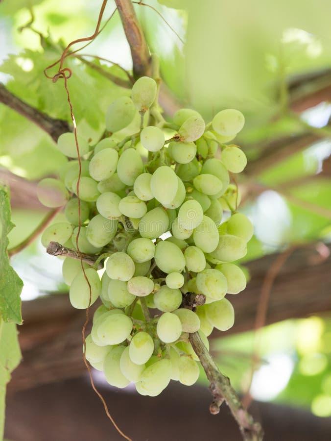 Uvas verdes en la naturaleza fotografía de archivo
