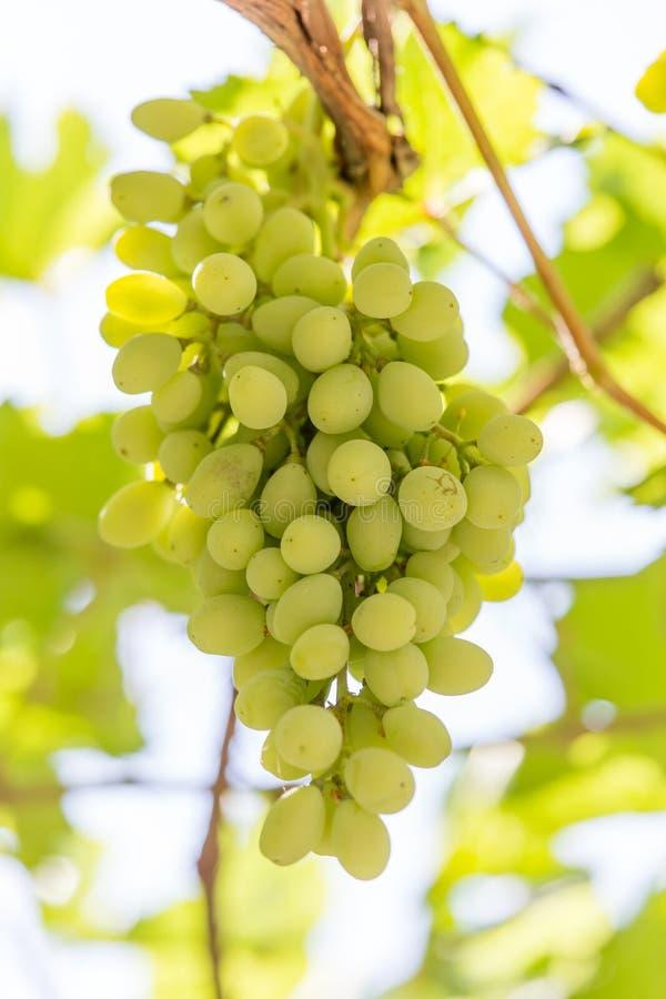 Uvas verdes en la naturaleza fotos de archivo