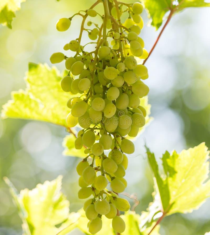 Uvas verdes en la naturaleza foto de archivo libre de regalías