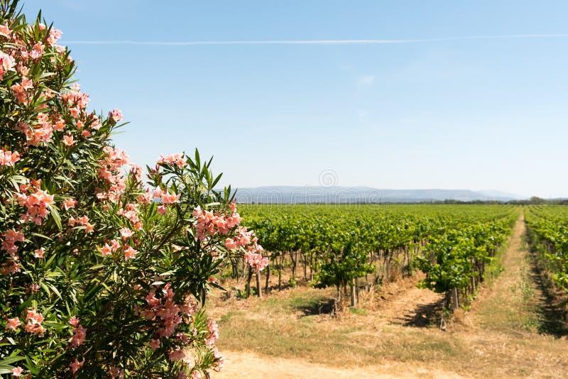 Uvas verdes en la vid con el cielo azul translúcido fotografía de archivo libre de regalías