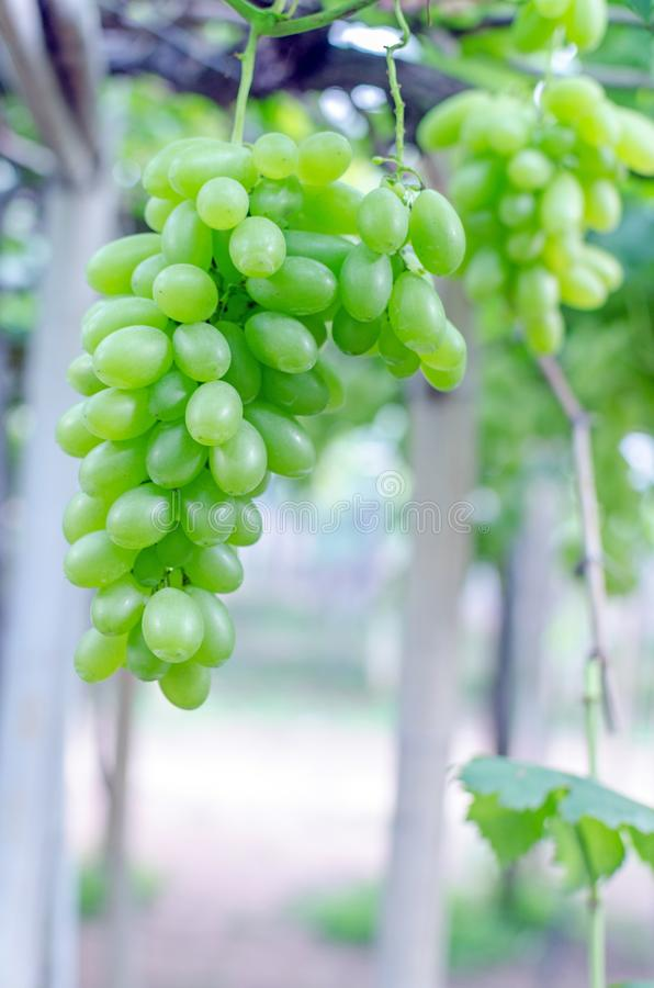 uvas verdes en la vid con la hoja verde en jardín fotos de archivo libres de regalías
