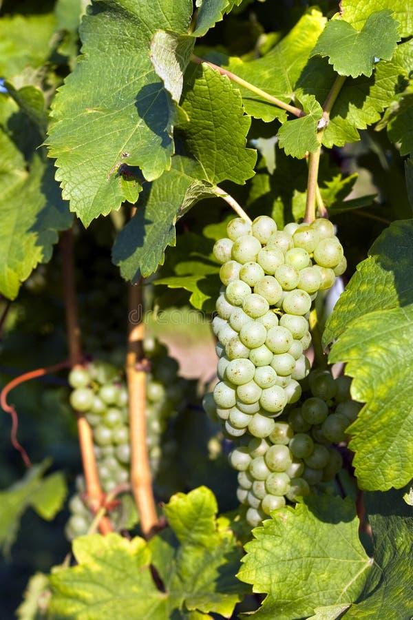Uvas verdes en viñedo foto de archivo libre de regalías