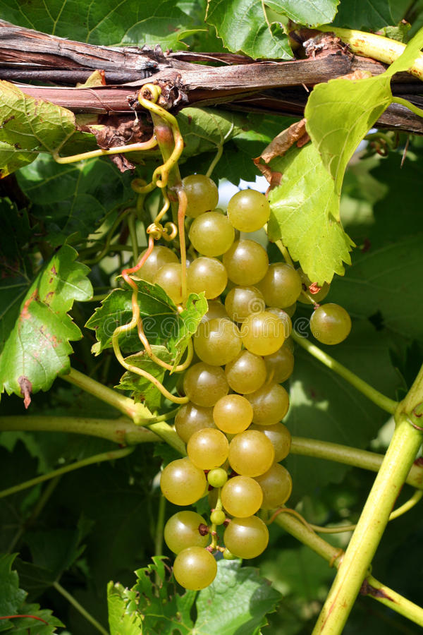Uvas verdes en vid imagen de archivo libre de regalías