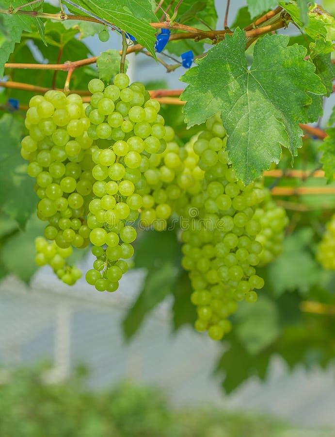 Uvas verdes frescas e novas imagens de stock royalty free