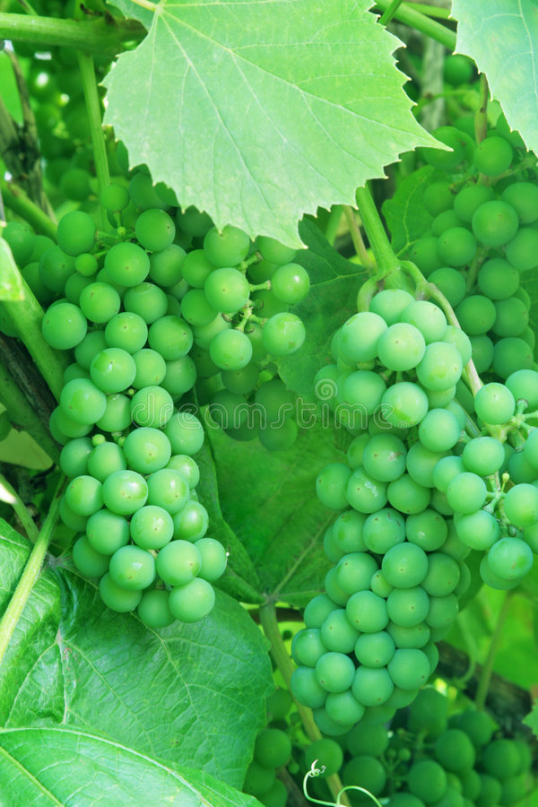 Uvas verdes inmaduras. imagen de archivo