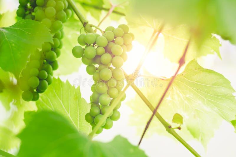 Uvas verdes inmaduras en una rama de una vid en un jardín en un fondo de la puesta del sol fotografía de archivo