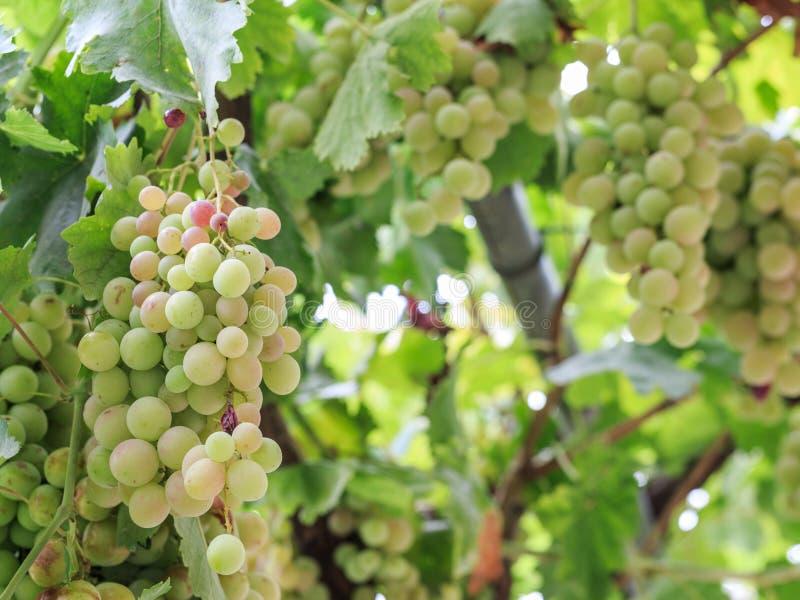 Uvas verdes maduras foto de stock