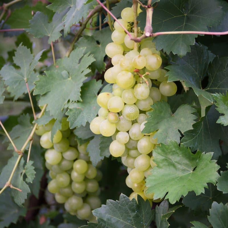 Uvas verdes na videira foto de stock