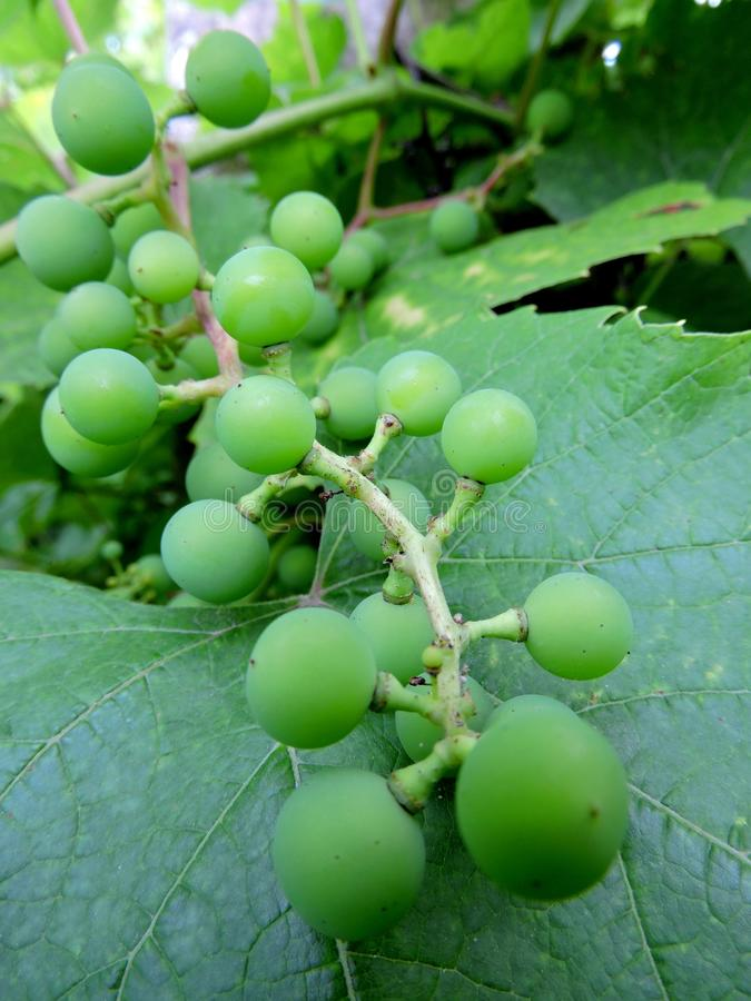 Uvas verdes no ramo imagens de stock