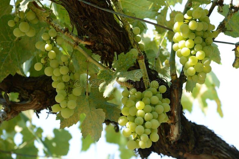 Uvas verdes verdes no vinhedo iluminado pela luz solar foto de stock