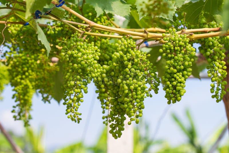 Uvas verdes novas imagens de stock royalty free