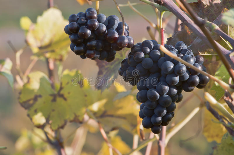 Download Uvas vermelhas foto de stock. Imagem de winegrower, fruta - 16859738