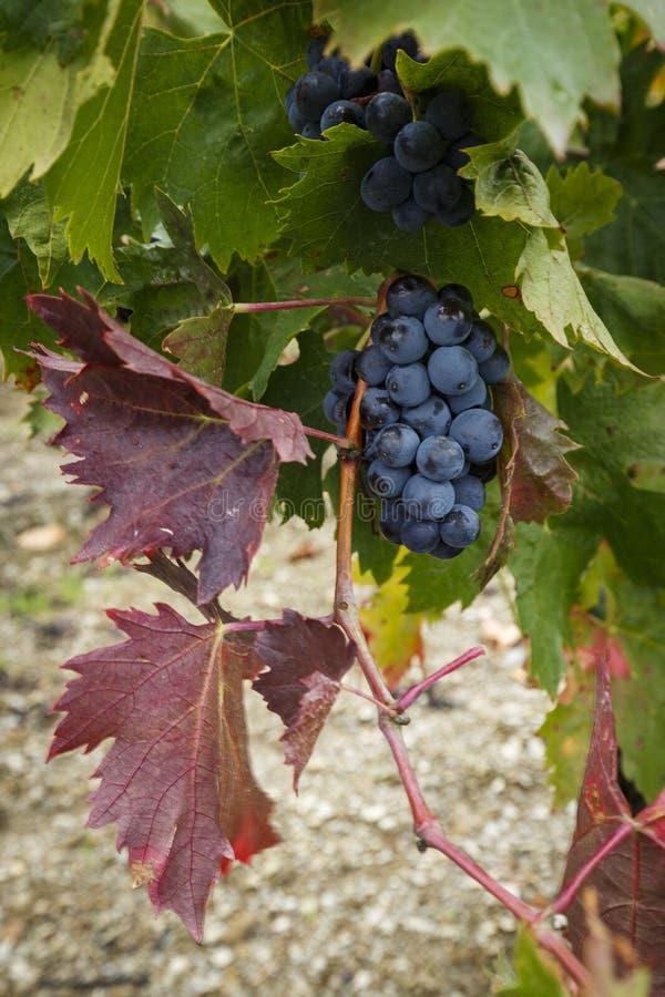 Uvas vermelhas do grenache prontas para ser colhido na regi?o da fatura de vinho de Priorat, Tarragona, Espanha CR2 foto de stock royalty free