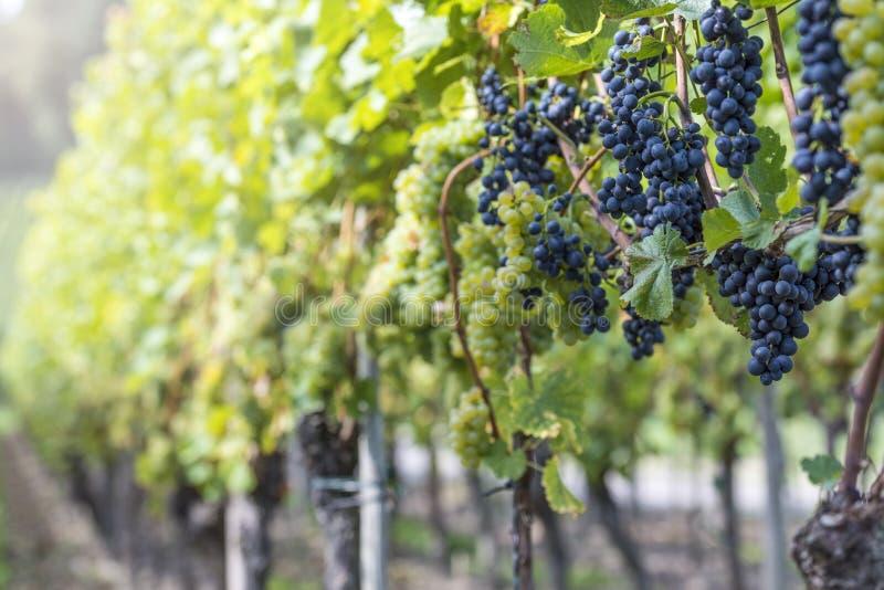 Uvas vermelhas e brancas no vinhedo fotografia de stock