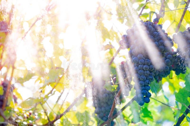 Uvas vermelhas frescas fotos de stock royalty free