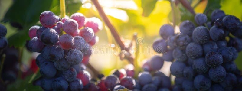 Uvas vermelhas frescas durante a colheita do outono fotos de stock royalty free