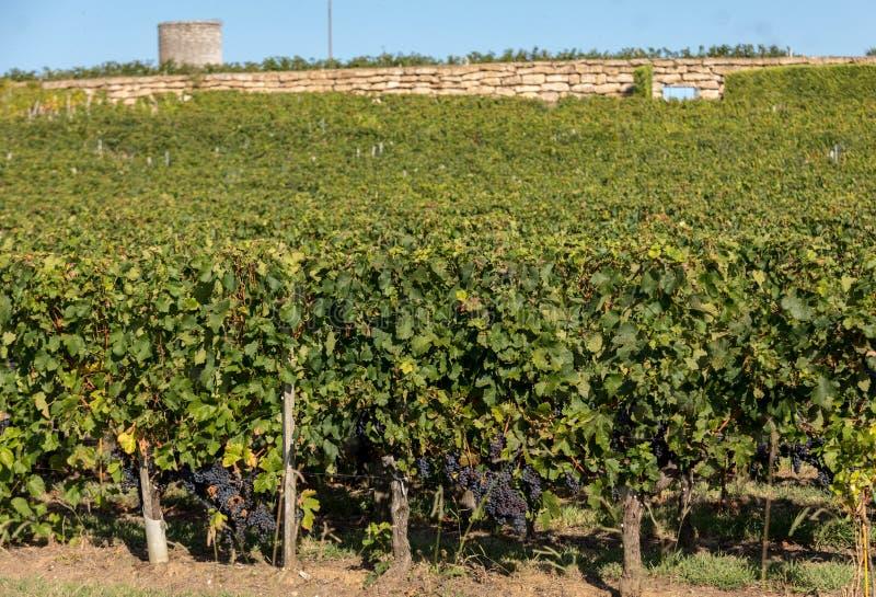 Uvas vermelhas maduras do Merlot em fileiras das videiras em um vienyard antes da colheita do vinho em Montagne Regi?o de Saint E fotografia de stock