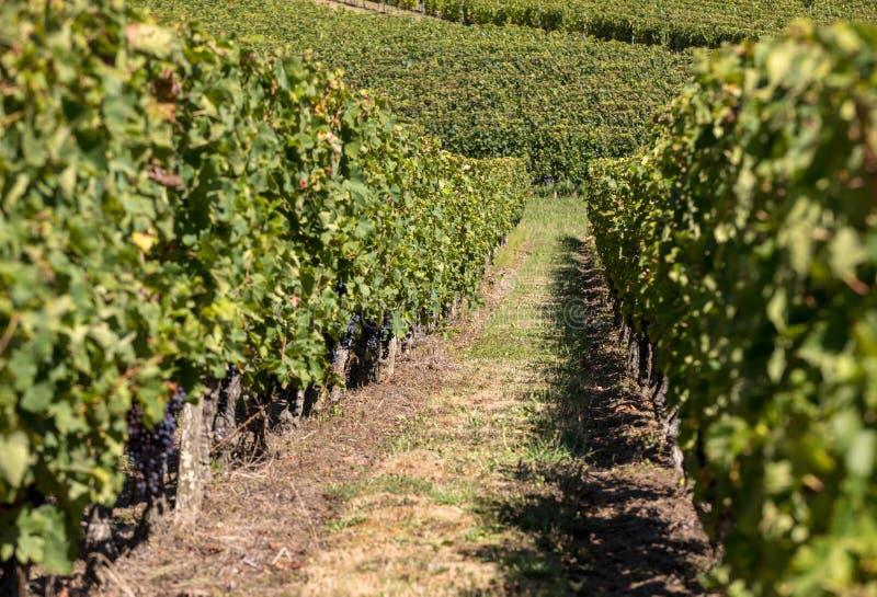 Uvas vermelhas maduras do Merlot em fileiras das videiras em um vienyard antes da colheita do vinho na regi?o de Saint Emilion fotos de stock