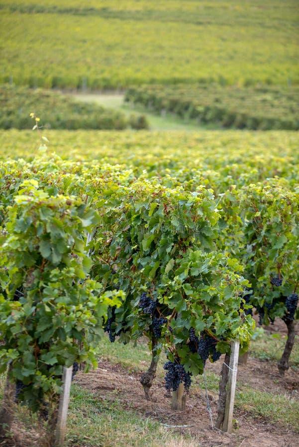 Uvas vermelhas maduras do Merlot em fileiras das videiras em um vienyard antes da colheita do vinho na regi?o de Saint Emilion imagens de stock royalty free