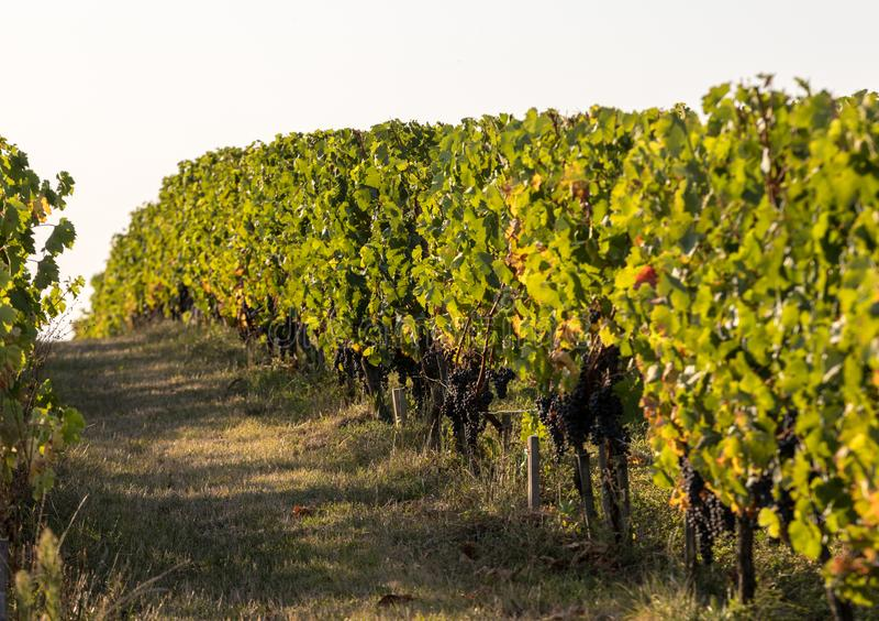Uvas vermelhas maduras do Merlot em fileiras das videiras em um vienyard antes da colheita do vinho na regi?o de Saint Emilion foto de stock