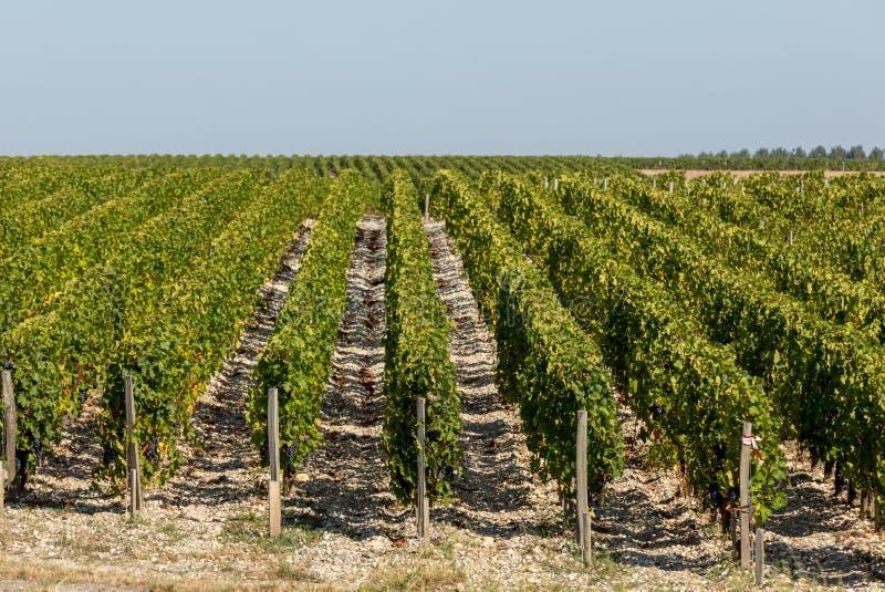 Uvas vermelhas maduras em fileiras das videiras em um vienyard antes da colheita do vinho em Margaux imagem de stock royalty free