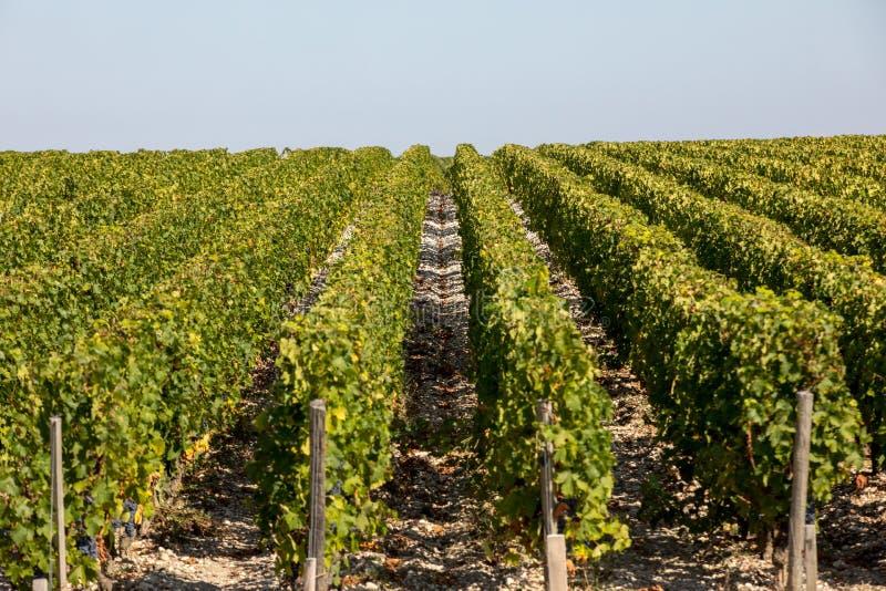 Uvas vermelhas maduras em fileiras das videiras em um vienyard antes da colheita do vinho em Margaux foto de stock