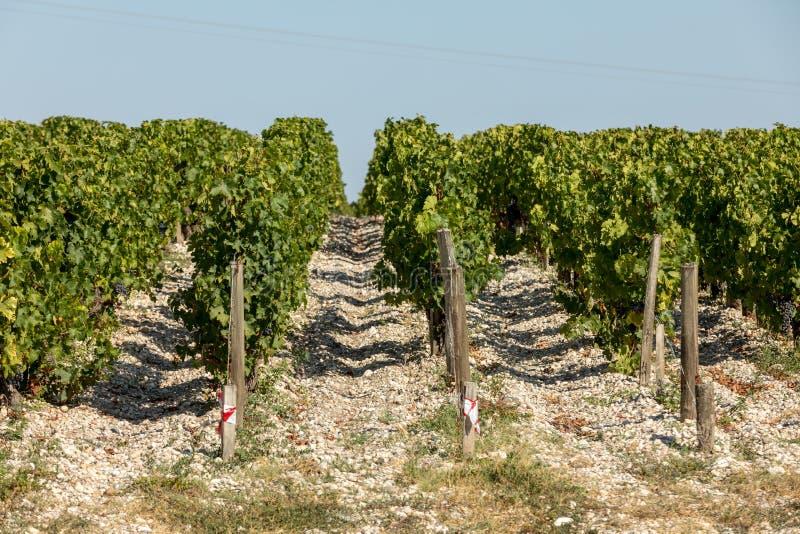 Uvas vermelhas maduras em fileiras das videiras em um vienyard antes da colheita do vinho imagens de stock