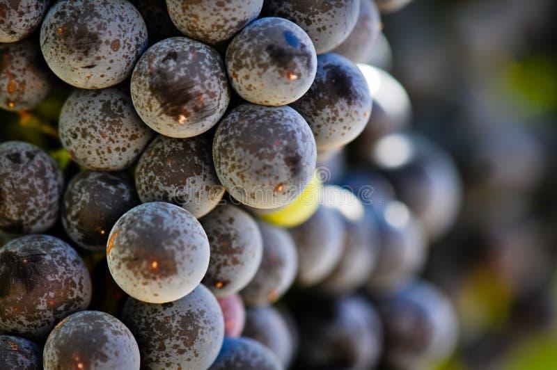 Uvas vermelhas na videira em Napa Valley foto de stock
