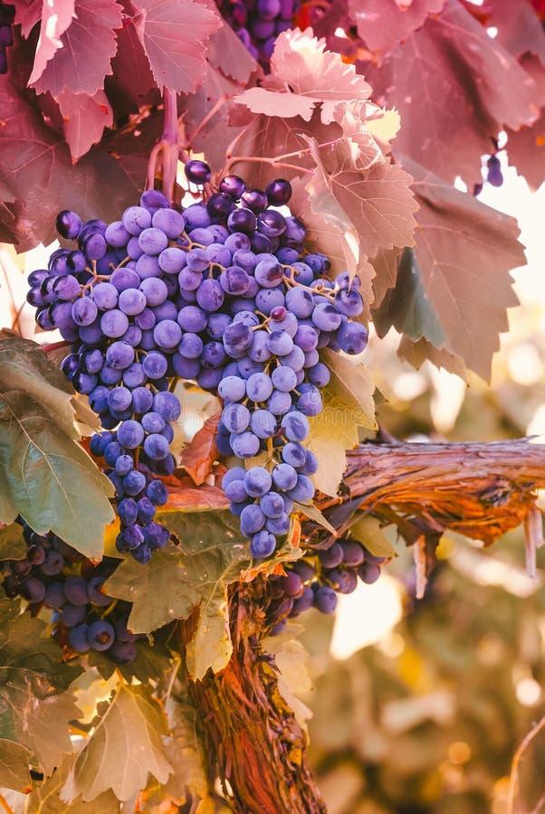 Uvas vermelhas roxas com as folhas verdes na videira frui da uva da videira imagens de stock royalty free