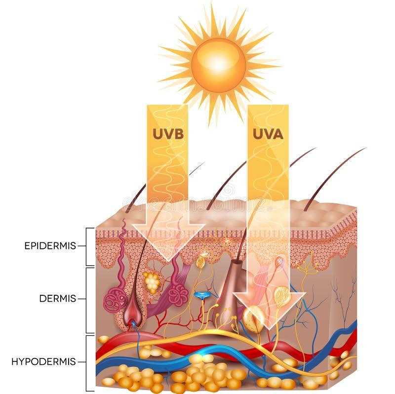 UVB- och UVA-utstrålning stock illustrationer