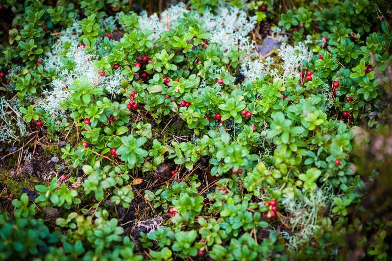Uve di monte rosse con le foglie in foresta immagine stock