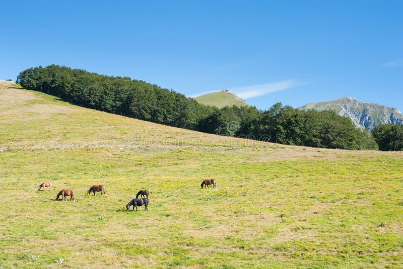 Uwalnia dzikich konie pasa na rozszerzonym trawy polu zdjęcie stock