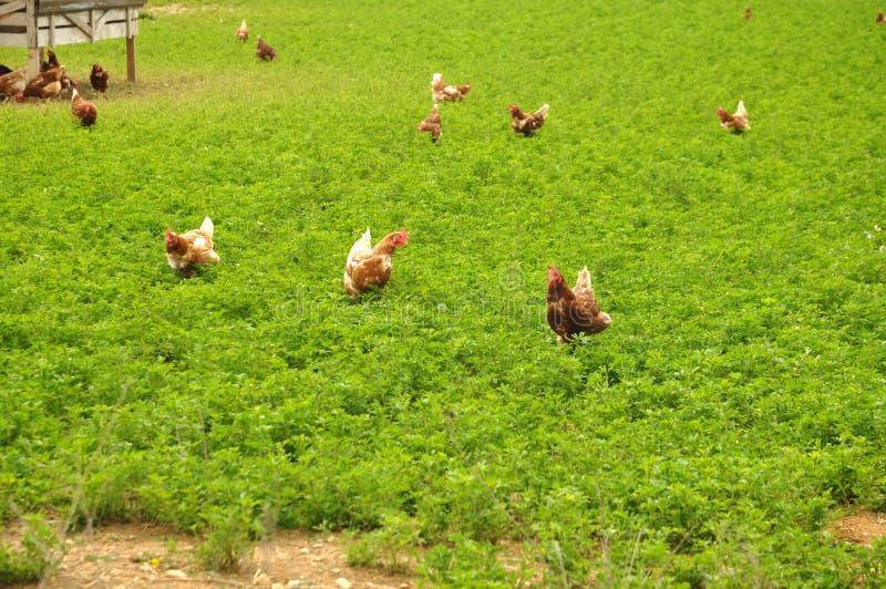 Uwalnia pasmo kurczaka chodzi nad wielkim farmyard obraz stock