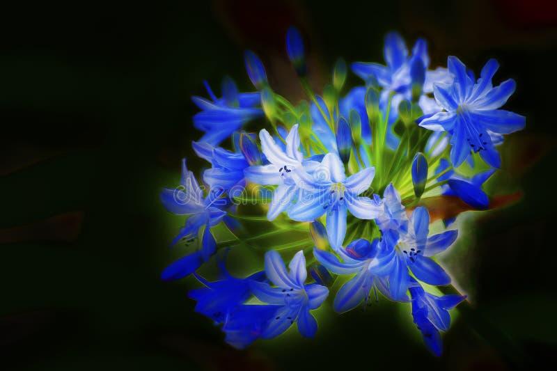 Uwydatniający grono błękit kwitnie z czarnym tłem zdjęcia stock