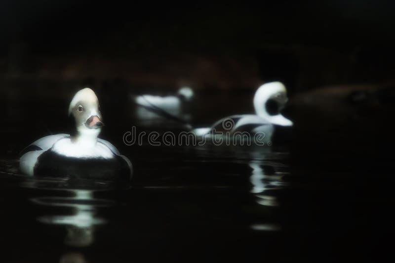 Uwydatniający wizerunek Długoogonkowa kaczka obraz stock