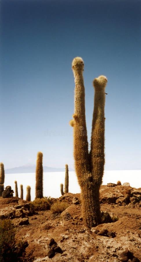 Uyuni соли De простое Salar кактуса Стоковые Изображения