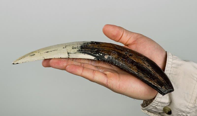 Uzębiony Tygrysi ząb obrazy stock