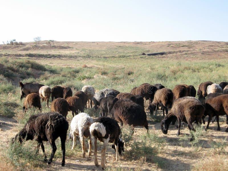 Uzbekistan Mayskiy the sheep herd 2007. The sheep herd in Tashkent region on the border between Uzbekistan and Kazakhstan royalty free stock images