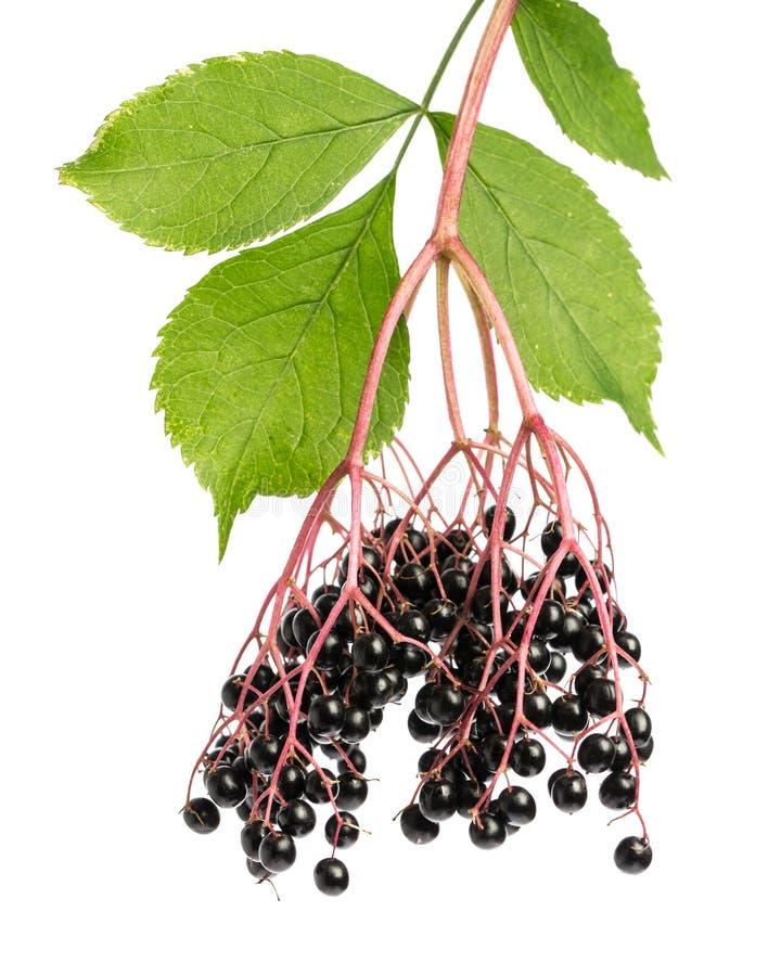Uzdrawiać rośliny: Elderberry sambucus gałązka z jagodami na białym tle obraz royalty free